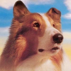 lassie-fue-el-primer-perro-en-tener-seguri-medico