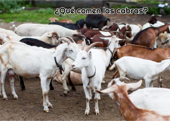 Qué comen las cabras